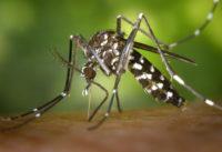 Remède naturel anti moustique