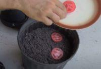Comment faire des plants de tomates avec des graines